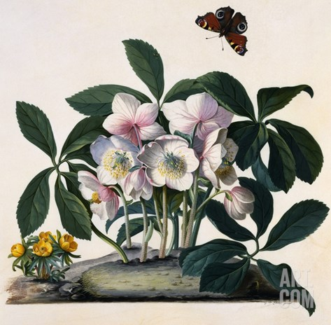 Helleborus Niger, Rose and Butterfly Lithograph Stretched Canvas Print