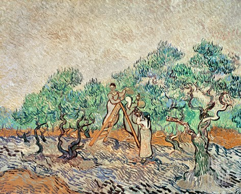 The Olive Grove, 1889 Stretched Canvas Print