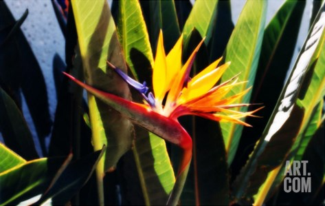 Hawaiian Bird of Paradise Stretched Canvas Print