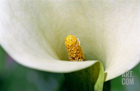 White Calla Lily Close-Up Stretched Canvas Print