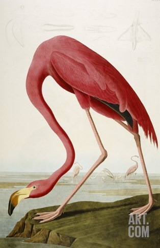 Flamingo Drinking at Water's Edge Stretched Canvas Print