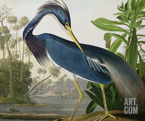 Louisiana Heron from &quot;Birds of America&quot; Stretched Canvas Print
