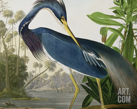 "Louisiana Heron from ""Birds of America"" Stretched Canvas Print"