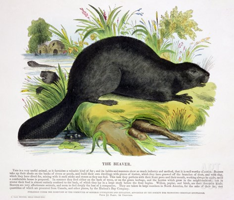 The Beaver, Educational Illustration Pub. by the Society for Promoting Christian Knowledge, 1843 Stretched Canvas Print