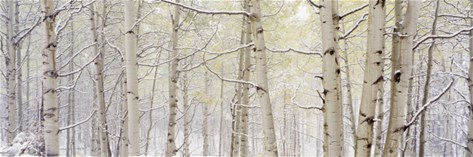 Autumn Aspens with Snow, Colorado, USA Stretched Canvas Print