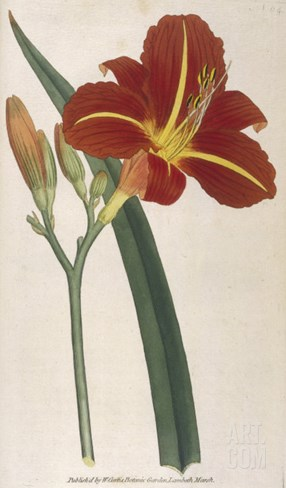 Tawny Day Lily Stretched Canvas Print
