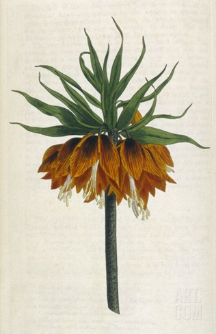 Crown Imperial Stretched Canvas Print
