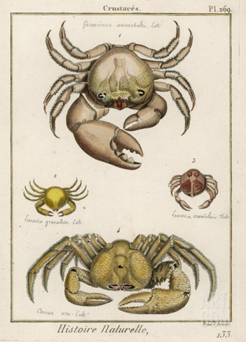 Gecarcinus Anisochele and Other Crabs Stretched Canvas Print