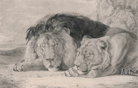 Sleeping Lion and Lioness Stretched Canvas Print