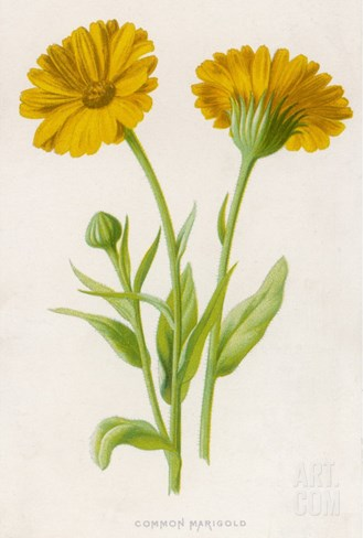 Common Marigold Stretched Canvas Print