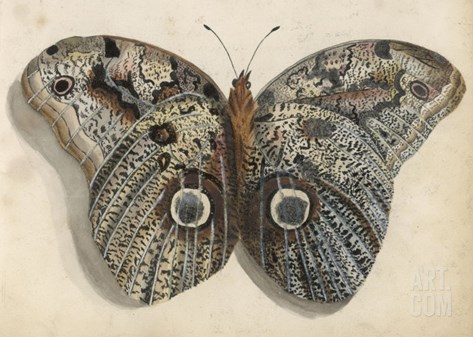 Amateur Naturalist's Depiction of a Moth Stretched Canvas Print