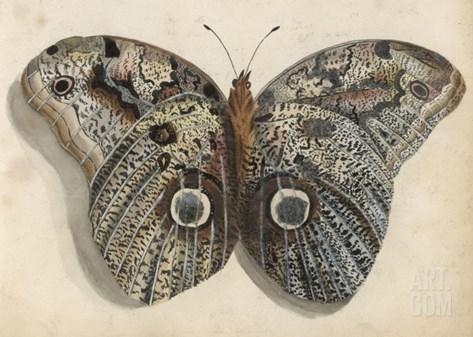 Amateur Naturalist's Depiction of a Moth Stretched Canvas Print