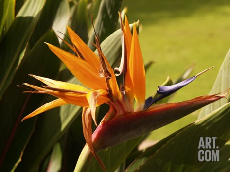 Maui Bird of Paradise Stretched Canvas Print