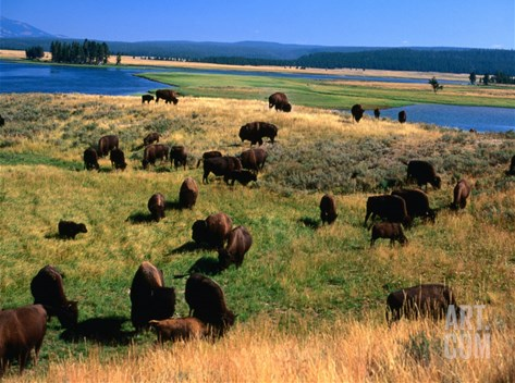 Bison (Bison Bison) Herd in Hayden Valley, Yellowstone National Park, Wyoming, USA Stretched Canvas Print