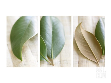 Leaves and Muslin Triptych Stretched Canvas Print