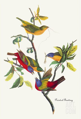 Painted Bunting Stretched Canvas Print