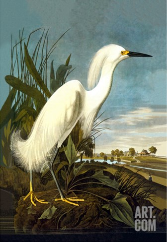 Snowy Egret Stretched Canvas Print