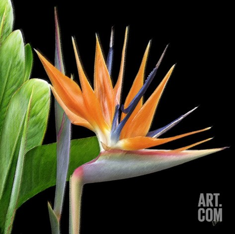 Bird of Paradise - Royal Beauty I Stretched Canvas Print