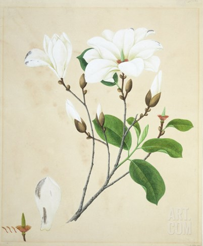 Magnolia, c.1800-40 Stretched Canvas Print
