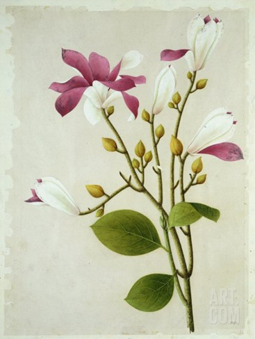 Purple Magnolia, c.1800-40 Stretched Canvas Print