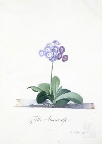 Botanical Illustration of a Primula: Fille Amoureuse Stretched Canvas Print
