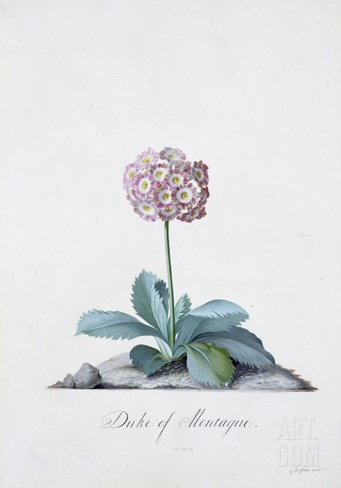 Botanical Illustration of a Primula: Duke of Monatague Stretched Canvas Print