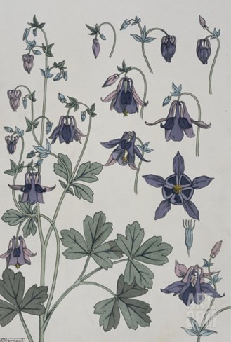 Botanical Diagram of Columbine Stretched Canvas Print