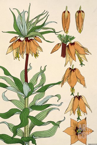 Botanical Diagram of Crown Imperial Stretched Canvas Print