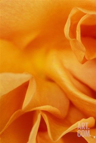 "Rosa ""Tennessee"" Close-up of Orange Flower Stretched Canvas Print"