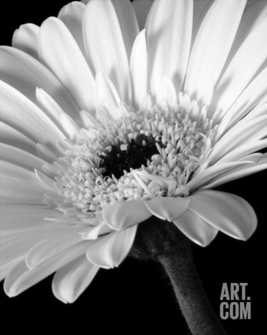 0001 Gerber Daisy Flower Stretched Canvas Print