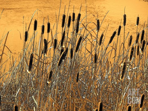Fall Cattails Stretched Canvas Print