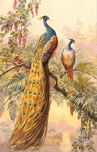 Peacock and Peahen, Illustration Stretched Canvas Print