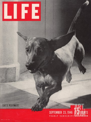 Dachsund Rudy Trotting Across Doorway in his Mexico City Home, September 23, 1946 Stretched Canvas Print