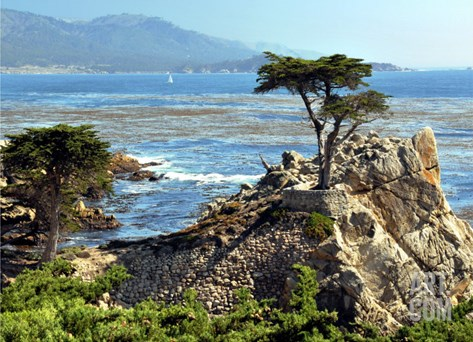 The Lone Cypress Tree Stretched Canvas Print