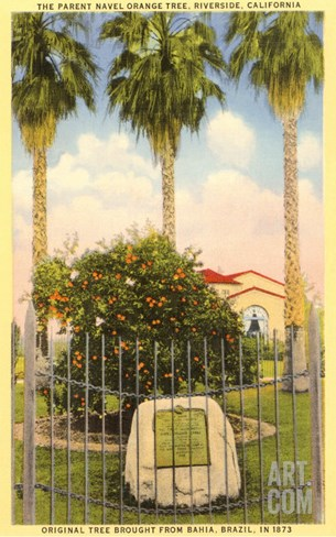 Parent Orange Tree, Riverside, California Stretched Canvas Print