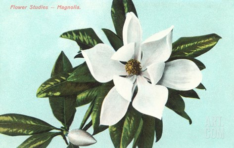 Magnolia Blossom Stretched Canvas Print