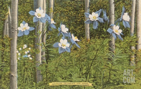 Colorado Columbines and Aspens Stretched Canvas Print