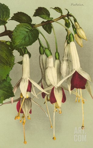 Fuschias Stretched Canvas Print