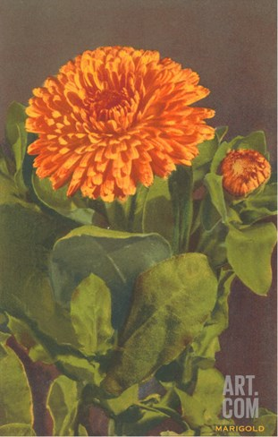Marigold Stretched Canvas Print
