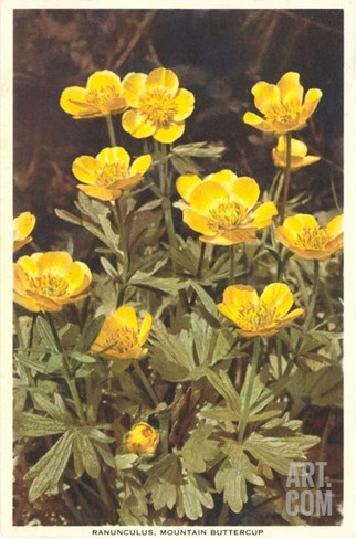 Ranunculus, Mountain Buttercup Stretched Canvas Print