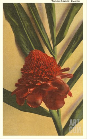 Torch Ginger Flower, Hawaii Stretched Canvas Print
