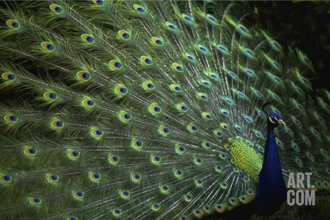 Peacock with Feathers Stretched Canvas Print