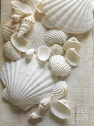 White Sea Shells Stretched Canvas Print