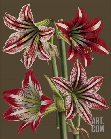 Lush Amaryllis II Stretched Canvas Print