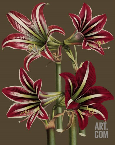 Lush Amaryllis I Stretched Canvas Print