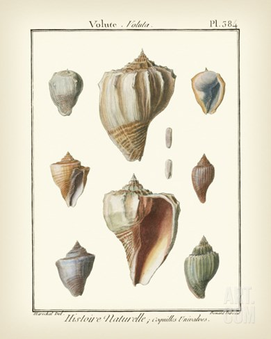 Volute Shells, Pl.384 Stretched Canvas Print