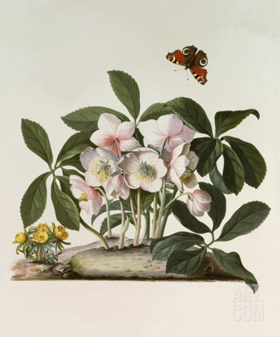 Helleborus Niger or Christmas Rose, Watercolour, 18th century Stretched Canvas Print