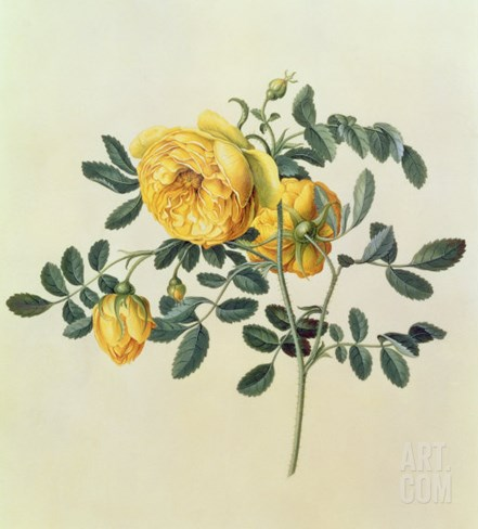 Rosa Hemispherica, 18th century Stretched Canvas Print