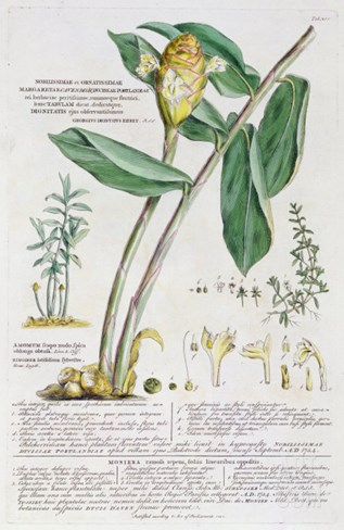 Zingiber latifolium and Amomum, 1754 Stretched Canvas Print