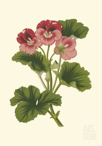 Pink Geranium I Stretched Canvas Print